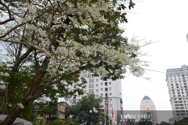 Ngắm hoa sưa 'phủ tuyết' phố phường Hà Nội - Ảnh 1.