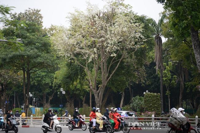 Ngắm hoa sưa 'phủ tuyết' phố phường Hà Nội - Ảnh 10.