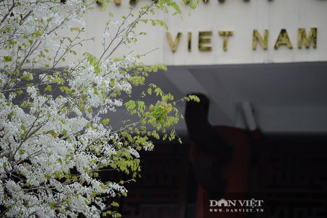 Ngắm hoa sưa 'phủ tuyết' phố phường Hà Nội - Ảnh 4.