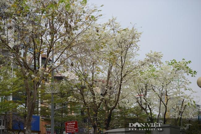 Ngắm hoa sưa 'phủ tuyết' phố phường Hà Nội - Ảnh 11.