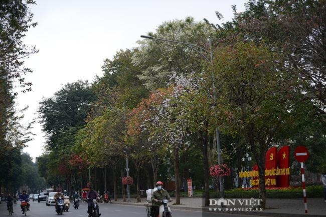 Ngắm hoa sưa 'phủ tuyết' phố phường Hà Nội - Ảnh 14.