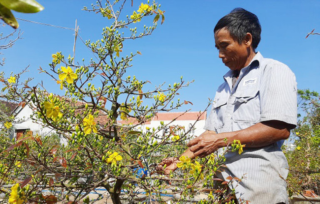 """Phú Yên: Sau Tết, nông dân """"xử lý"""" thế nào với hàng trăm cây mai vàng """"bán ế""""? - Ảnh 1."""