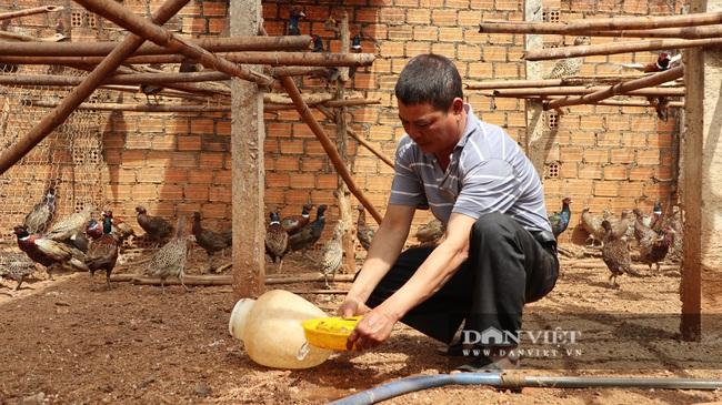 6 năm nuôi chim trĩ, lão nông này bán giá 200 ngàn/kg thu nhập vài trăm triệu/năm - Ảnh 3.