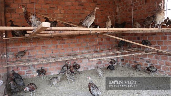 6 năm nuôi chim trĩ, lão nông này bán giá 200 ngàn/kg thu nhập vài trăm triệu/năm - Ảnh 6.