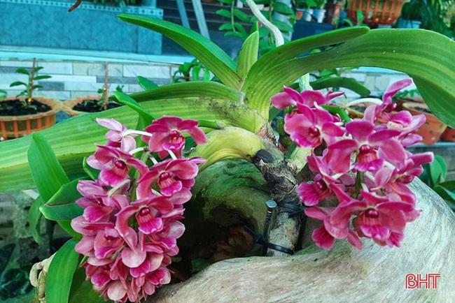 """50 giò lan rừng đột biến đẹp mê li trong vườn lan rừng """"khủng"""" của một nông dân tỉnh Hà Tĩnh - Ảnh 16."""