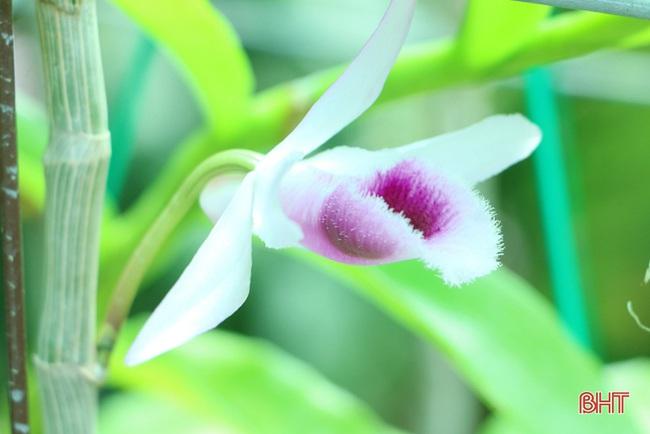 """50 giò lan rừng đột biến đẹp mê li trong vườn lan rừng """"khủng"""" của một nông dân tỉnh Hà Tĩnh - Ảnh 17."""