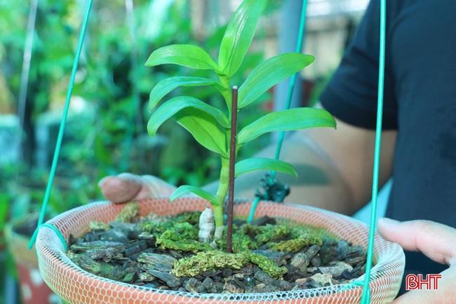 """50 giò lan rừng đột biến đẹp mê li trong vườn lan rừng """"khủng"""" của một nông dân tỉnh Hà Tĩnh - Ảnh 7."""