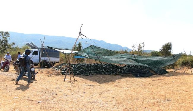 """Ninh Thuận: Nông dân """"khóc ròng"""" vì dưa hấu vụ tết rớt giá thê thảm - Ảnh 2."""