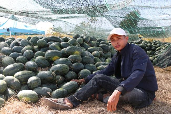 """Ninh Thuận: Nông dân """"khóc ròng"""" vì dưa hấu vụ tết rớt giá thê thảm - Ảnh 1."""