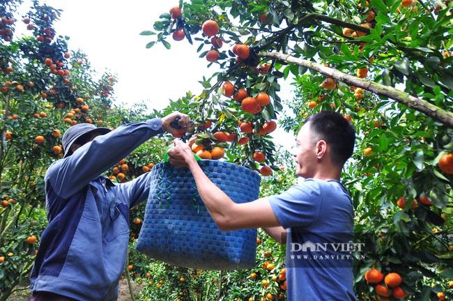 Trồng quýt trên đất dốc, lão nông U50 thu hơn chục tấn, bán được giá, bỏ túi hơn 200 triệu - Ảnh 5.