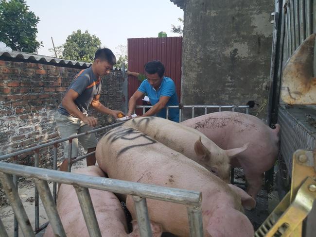 Bao giờ có vaccine thương mại dịch tả lợn châu Phi? - Ảnh 1.