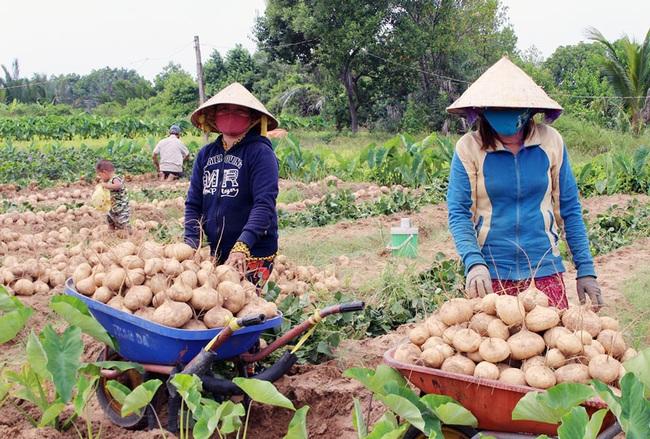Bến Tre: Lạ, nhiều nông sản ùn ứ, ở đây trồng thứ củ ăn vặt bán lại rất nhanh, chưa đến Tết đã hết hàng - Ảnh 1.