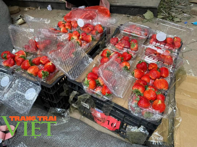 Sơn La: Trồng dâu tây bán Tết, nông dân lãi hàng trăm triệu đồng - Ảnh 5.