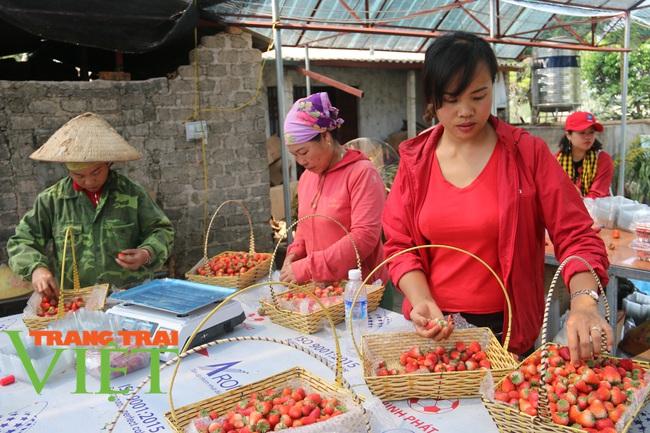 Sơn La: Trồng dâu tây bán Tết, nông dân lãi hàng trăm triệu đồng - Ảnh 3.