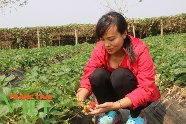 Sơn La: Trồng dâu tây bán Tết, nông dân lãi hàng trăm triệu đồng - Ảnh 6.