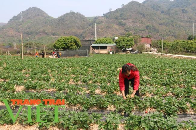 Sơn La: Trồng dâu tây bán Tết, nông dân lãi hàng trăm triệu đồng - Ảnh 1.