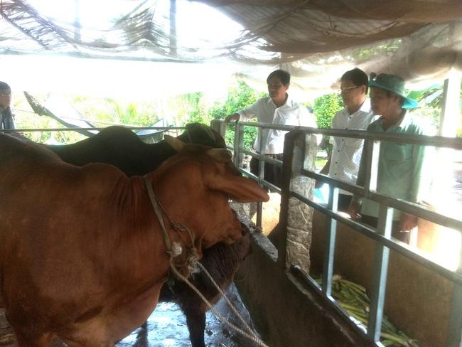 """Long An: Mô hình""""Mượn giống nuôi bò thịt"""" giàu có ra sao mà huyện ra nghị quyết kêu gọi nông dân nuôi bò? - Ảnh 2."""