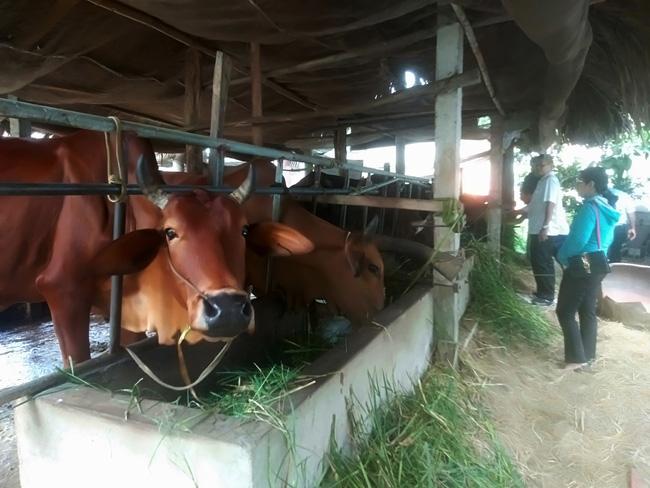 """Long An: Mô hình""""Mượn giống nuôi bò thịt"""" giàu có ra sao mà huyện ra nghị quyết kêu gọi nông dân nuôi bò? - Ảnh 1."""