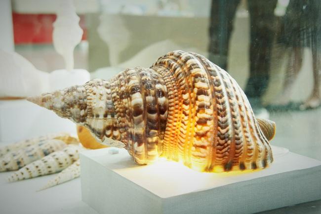 """Bộ sưu tập vỏ ốc """"khủng"""" từ Hoàng Sa, Trường Sa tại Đà Nẵng - Ảnh 7."""