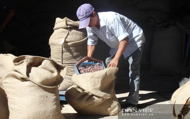 Hạt ca cao hữu cơ khô được mua với giá 100.000 đồng/kg. Ảnh Nguyễn Vy