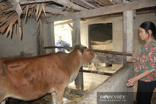 """Clip: Trâu, bò ở Hà Tĩnh xuất hiện """"bệnh lạ"""", người dân lo lắng - Ảnh 1."""