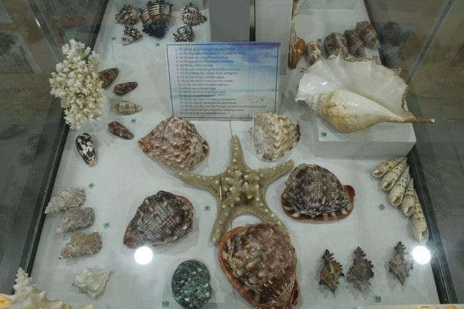 """Bộ sưu tập vỏ ốc """"khủng"""" từ Hoàng Sa, Trường Sa tại Đà Nẵng - Ảnh 4."""