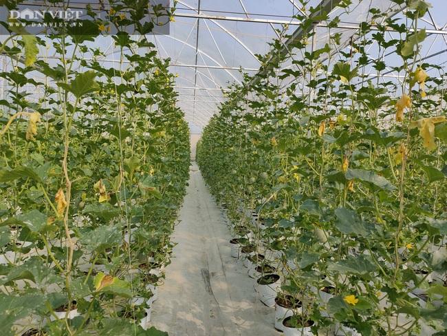 """Hà Tĩnh: Ứng dụng công nghệ trồng dưa lưới, """"lão nông"""" lãi hàng trăm triệu đồng mỗi năm - Ảnh 4."""