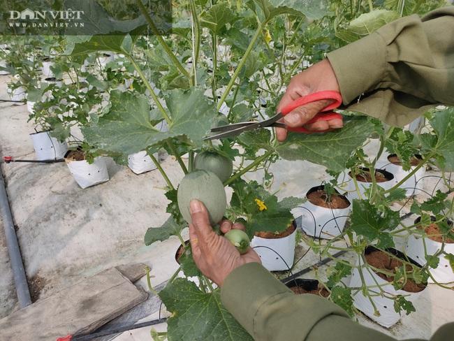 """Hà Tĩnh: Ứng dụng công nghệ trồng dưa lưới, """"lão nông"""" lãi hàng trăm triệu đồng mỗi năm - Ảnh 5."""