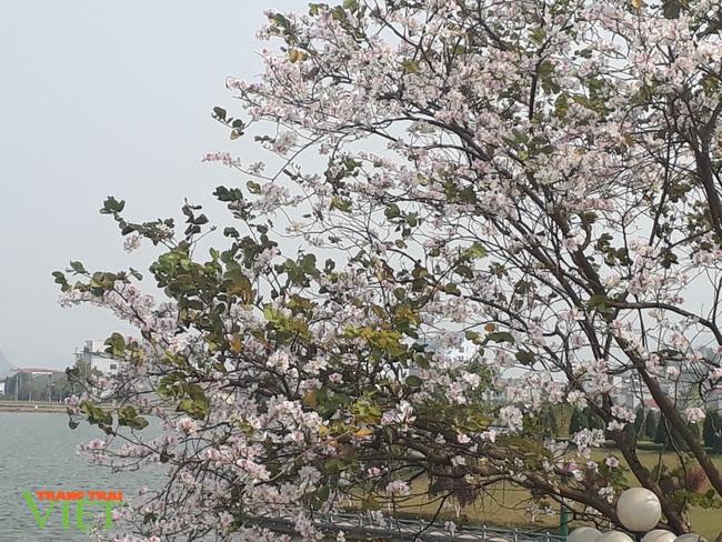 Thành phố Lai Châu ngập tràn sắc trắng hoa ban - Ảnh 4.