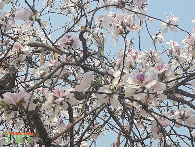 Thành phố Lai Châu ngập tràn sắc trắng hoa ban - Ảnh 3.