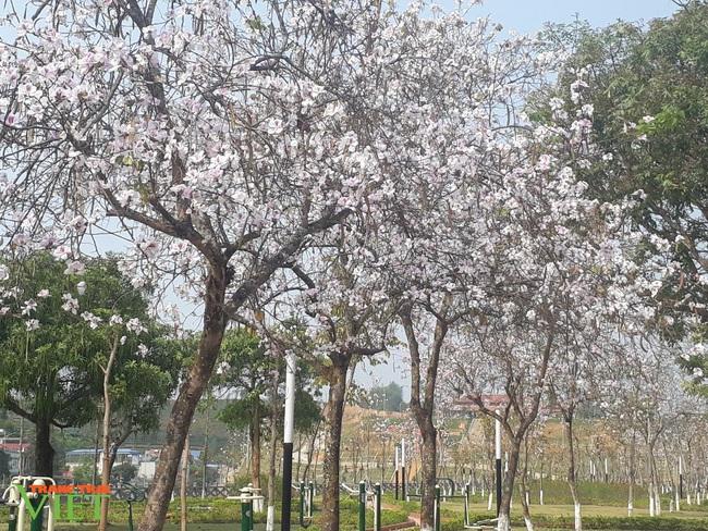 Thành phố Lai Châu ngập tràn sắc trắng hoa ban - Ảnh 2.