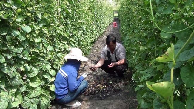 Long An: Trồng loại rau học sinh lấy nhựa làm mực viết, nông dân lấy hạt bán với giá 200.000 đồng/kg  - Ảnh 1.