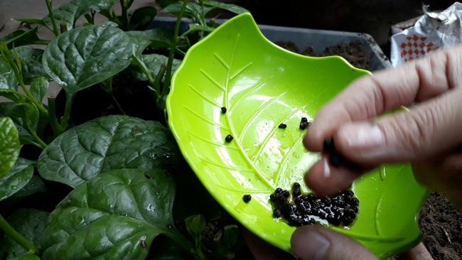 Long An: Trồng loại rau học sinh lấy nhựa làm mực viết, nông dân lấy hạt bán với giá 200.000 đồng/kg  - Ảnh 2.