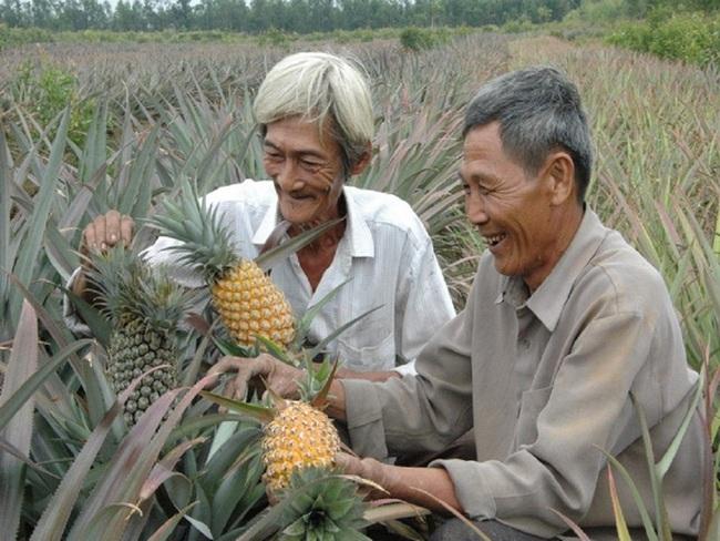 Giá khóm tăng mạnh, nông dân lời 100 triệu đồng/ha - Ảnh 1.