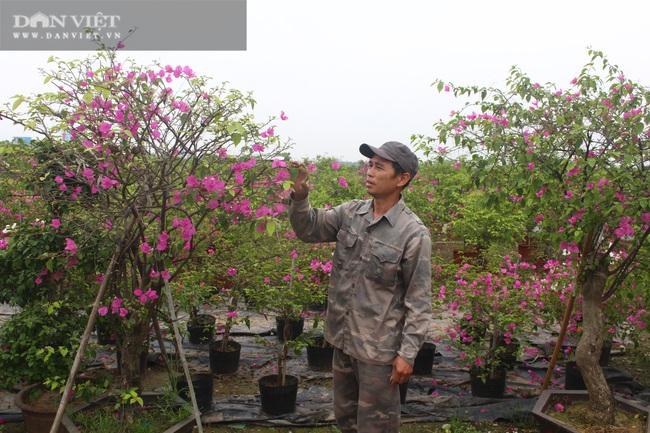 Trồng hoa giấy, nông dân Phù Đổng thu hơn 82 tỷ đồng/năm - Ảnh 1.