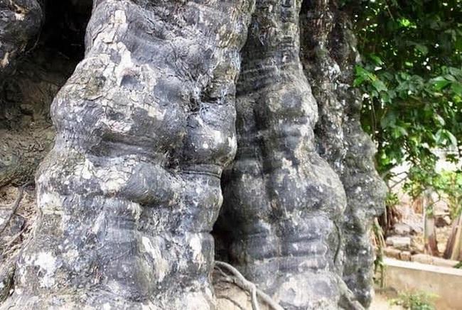Thanh Hóa: Chiêm ngưỡng hai cây thị trên 600 năm tuổi ở thành nhà Hồ - Ảnh 3.