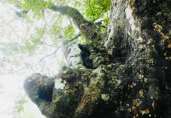 Thanh Hóa: Chiêm ngưỡng hai cây thị trên 600 năm tuổi ở thành nhà Hồ - Ảnh 6.