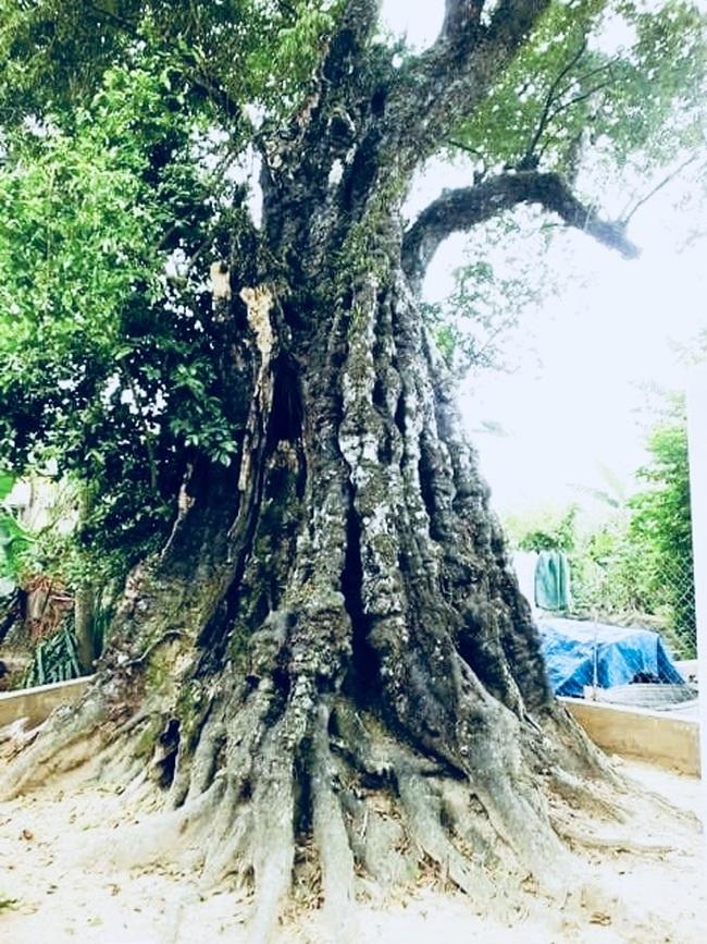 Thanh Hóa: Chiêm ngưỡng hai cây thị trên 600 năm tuổi ở thành nhà Hồ - Ảnh 4.