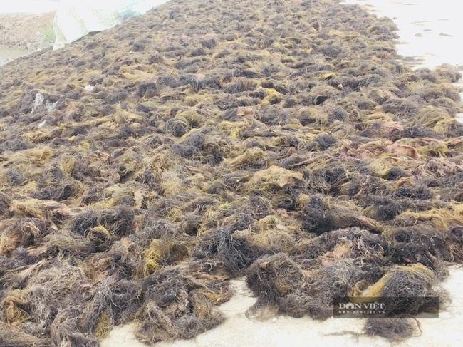 Thanh Hóa: Vớt thứ rau mọc tự nhiên dưới ao đầm người dân ven biển kiếm bội tiền - Ảnh 3.
