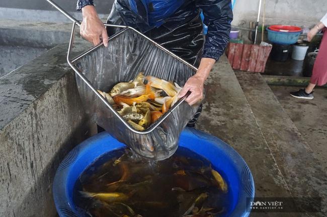 """Nam Định: Nuôi loài cá """"sang chảnh"""", có con dài gần 1 mét, bán giá nghìn đô, 8X này thu tiền tỷ - Ảnh 7."""