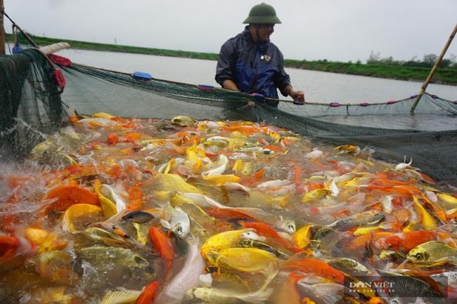 """Nam Định: Nuôi loài cá """"sang chảnh"""", có con dài gần 1 mét, bán giá nghìn đô, 8X này thu tiền tỷ - Ảnh 3."""