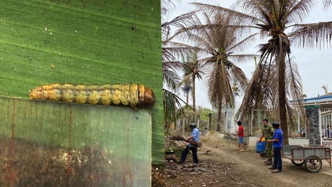 Đã có 2 tỉnh miền Tây bị sâu lạ cắn phá vườn dừa, gây thiệt hại nặng - Ảnh 1.