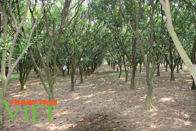 Nông dân Cao Phong phất lên nhờ trồng loại cây này - Ảnh 1.