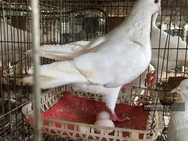 8X Thanh Hóa nuôi chim bồ câu Pháp lời hơn 20 triệu/tháng - Ảnh 7.
