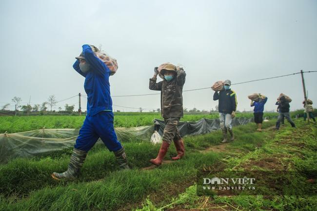 Nông dân Chí Linh hồ hởi đội mưa thu hoạch nông sản hậu cách ly xã hội - Ảnh 3.