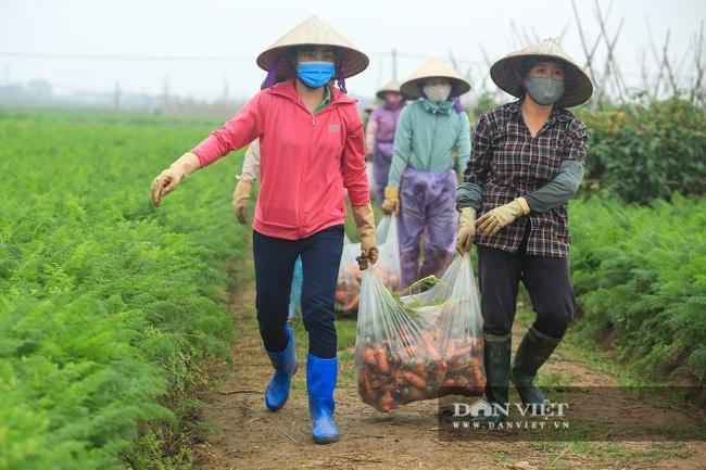 Nông dân Chí Linh hồ hởi đội mưa thu hoạch nông sản hậu cách ly xã hội - Ảnh 4.