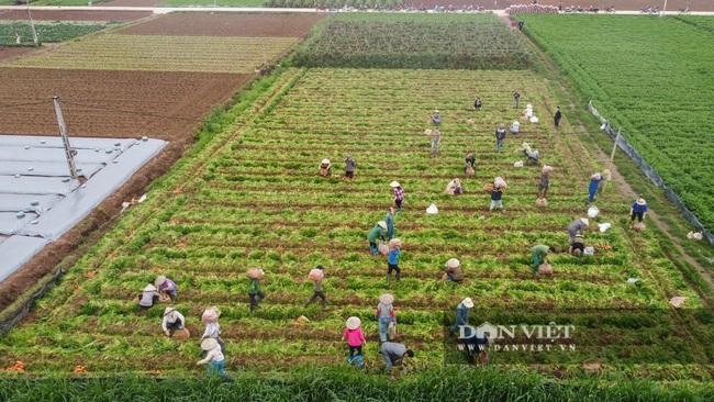Nông dân Chí Linh hồ hởi đội mưa thu hoạch nông sản hậu cách ly xã hội - Ảnh 2.