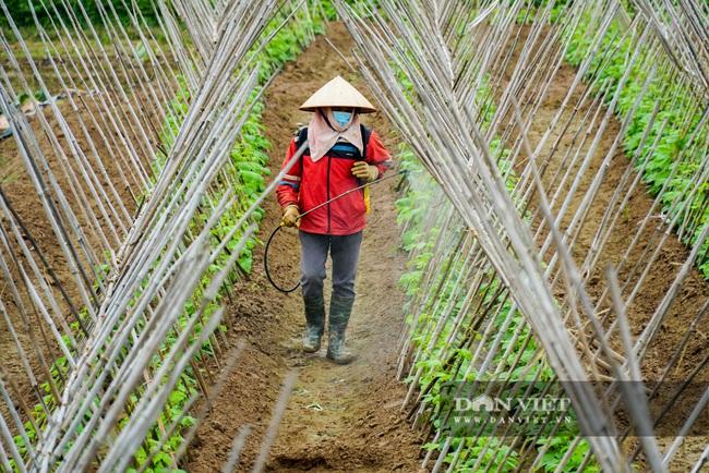 Nông dân Chí Linh hồ hởi đội mưa thu hoạch nông sản hậu cách ly xã hội - Ảnh 13.