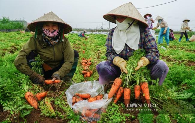 Nông dân Chí Linh hồ hởi đội mưa thu hoạch nông sản hậu cách ly xã hội - Ảnh 6.