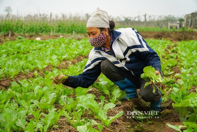 Nông dân Chí Linh hồ hởi đội mưa thu hoạch nông sản hậu cách ly xã hội - Ảnh 11.